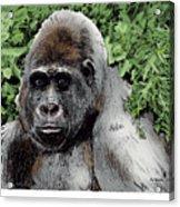 Gorilla My Dreams Acrylic Print