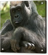 Gorilla1 Acrylic Print