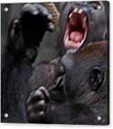 Gorillas Fighting Acrylic Print