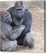 Gorillas Acrylic Print
