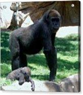 Gorillas Mary Joe Baby And Emonty Mother 6 Acrylic Print