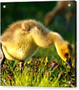 Gosling In Spring Acrylic Print by Paul Ge