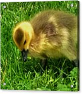 Gosling On Her Own Acrylic Print