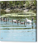 Goslings In A Row Acrylic Print