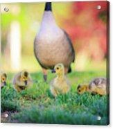 Goslings In The Park Acrylic Print