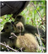 Gosling's In The Shade Acrylic Print