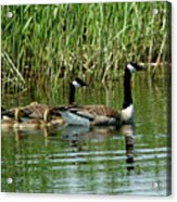 Goslings In Tow Acrylic Print