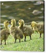 Gossiping Goslings Acrylic Print