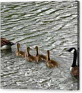 Got All Your Ducks In A Row Acrylic Print