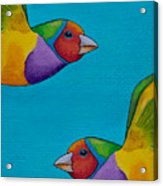 Gouldian Finches Acrylic Print