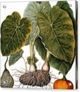 Gourd, Taro, & Pumpkin Acrylic Print