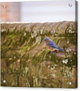 Governor's Palace Bluebird Acrylic Print