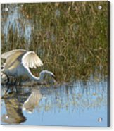 Graceful Great Egret Acrylic Print