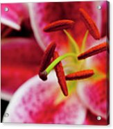 Graceful Lily Series 21 Acrylic Print