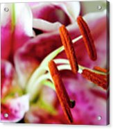 Graceful Lily Series 23 Acrylic Print