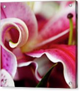 Graceful Lily Series 25 Acrylic Print