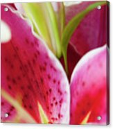 Graceful Lily Series 27 Acrylic Print