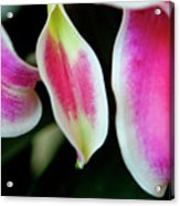 Graceful Lily Series 30 Acrylic Print