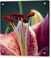 Graceful Lily Series 7 Acrylic Print