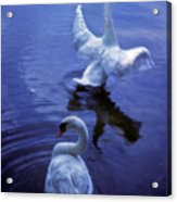Graceful Swans Acrylic Print