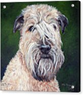 Gracie, Soft Coated Wheaten Terrier Acrylic Print