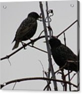 Grackles On Branches  Acrylic Print