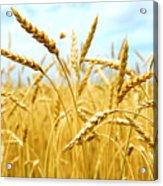 Grain Field Acrylic Print by Elena Elisseeva