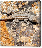Grand Canyon Lizard Acrylic Print