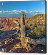 Grand Canyon Old Tree Acrylic Print