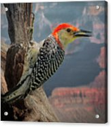 Grand Canyon Woodpecker Acrylic Print