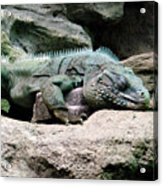 Grand Cayman Blue Iguana Acrylic Print
