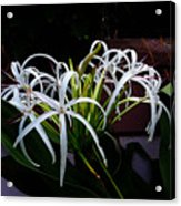 Grand Crinum Lily Acrylic Print