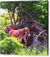 Grand Turk Donkeys In The Shade Acrylic Print