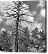 Grandfather Tree Acrylic Print
