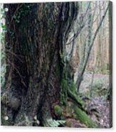 Grandfather Tree. Acrylic Print