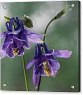 Granny's Purple Bonnet  Acrylic Print