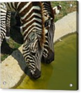 Grants Zebras - Thirst Quencher Acrylic Print