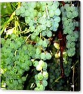 Grape Harvest Acrylic Print