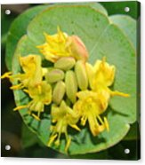 Grape Honeysuckle Acrylic Print