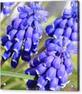 Grape Hyacinth Closeup Acrylic Print