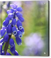 Grape Hyacinth II Acrylic Print