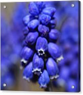 Grape Hyacinth - Muscari Acrylic Print