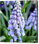 Grape Hyacinths Closeup Acrylic Print