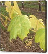 Grape Leaves At Fess Parker Acrylic Print