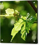 Grape Leaves In Spring Acrylic Print