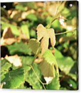 Grape Vine 3 Acrylic Print