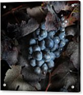 grape vine I Acrylic Print