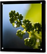 Grape Vines And Water Drops Triptych Acrylic Print by Lisa Knechtel