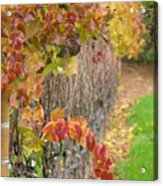 Grape Vines In Fall Acrylic Print
