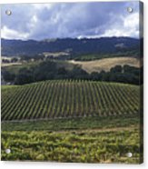 Grape Vines On Opolo Vineyards Acrylic Print by Rich Reid